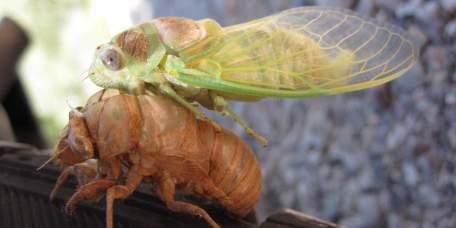 Verpoppig van een cicade