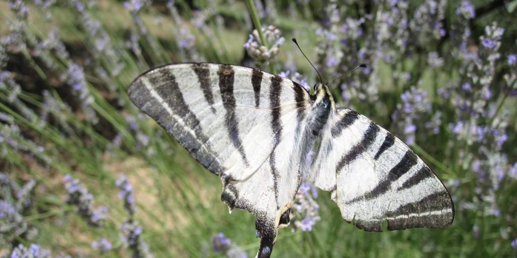zeldzame soort. Komt vooral in Zuid-Europa voor. net als de koninginnenpage 4,5cm lang met een spanwijdte van 8cm;