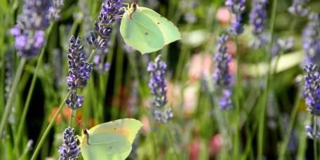 Een koppel Cleopatra vlinders