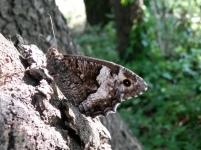 Silène op de bast van een dennenboom