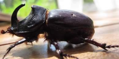 Neushoornkever (4cm)